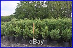 100 Leyland Cypress Evergreen Trees-Liners-12-14 inches tall
