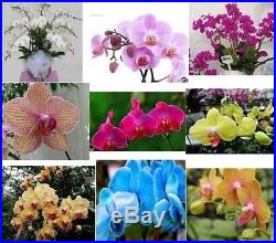 100 Mix-color Butterfly Orchid Flower Seed Orchid Queen Bonsai plant home garden