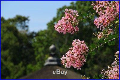 100 Seeds Lagerstroemia Crape Myrtlette Crepe Myrtle Dwarf Shrubs Bonsai Seeds