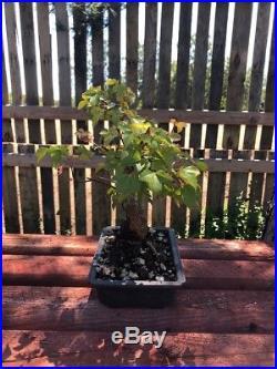 10 Bonsai Tree Trident Maple Acer Burgeranium Maple