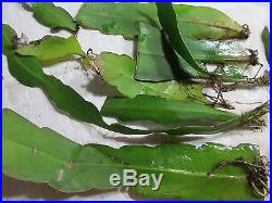 10 Cuttings from Night Blooming White Orchid Cactus Succulent Plant Rooted