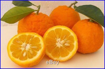 10 Edible Fruit Bitter Orange Seeds, Bonsai Citrus Seville Orange Tree Seeds