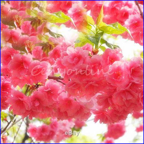 10 Japanese Cherry Tree Pink Cloud Oriental Prunus Serrulata Sakura Flower Seeds