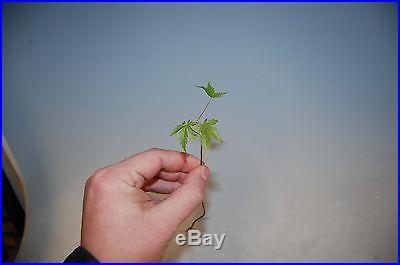 10 'Runts' Bare Root Japanese Maple (Momiji) Acer Palmatum for Bonsai