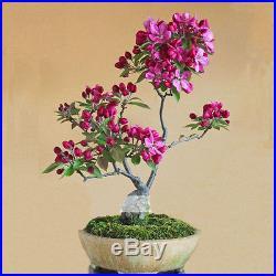 10 Seeds / Pack, Dark Red Apple Flowering Plant Bonsai Tree Seed