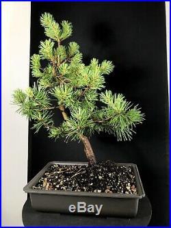 10 Year Scots Pine Bonsai Tree 20 Specimen