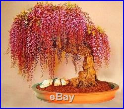 10 pcs rare gold mini bonsai wisteria tree seeds Indoor ornamental plants