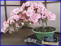 10pcs Japanese Sakura Seeds, Bonsai Flower Cherry Blossoms Free Shipping