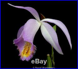 10x Pleione rare bubil mix, Semi-Hardy Deciduous Orchid, Rare Varieties
