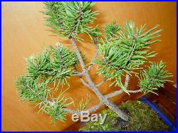 11 Year Old Collected Lodgepole Pine Pinus Contorta 1/2 Inch Trunk Bonsai Tree