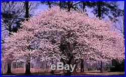 120 Princess Tree Seeds Paulownia Tomentosa Fast Grower Bonsai or Landscape