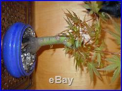 12 Year Japanese Maple Acer Palmatum Aureum 1 3/4 Inch Trunk Bonsai