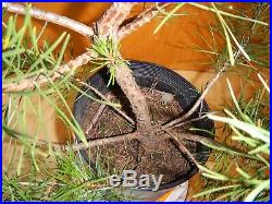12 Year Old Informal Upright Japanese Black Pine 1 Inch Trunk Bonsai Tree