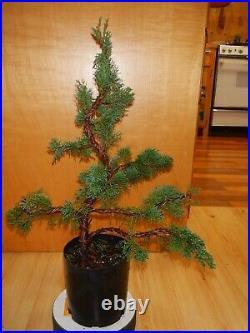 12 Year Old Shohin Shimpaku Juniper 1 Inch Exposed Root Nebari Trunk Bonsai