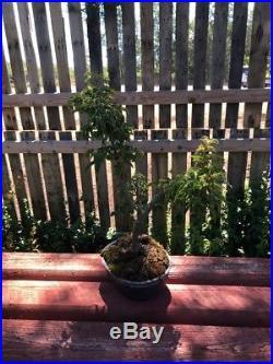13 Bonsai Tree Japanese Maple Shishigashira Lionshead Maple