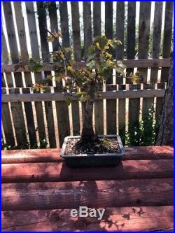 13 Bonsai Tree Trident Maple Acer Burgeranium Maple