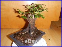 16 Year Old 2 X 1 1/2 Nebari Root Trunk Evergreen Huckleberry Bonsai Tree
