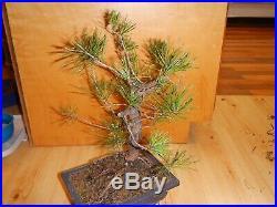 18 Year Old Informal Upright Japanese Black Pine 1 Inch Nebari Trunk Bonsai