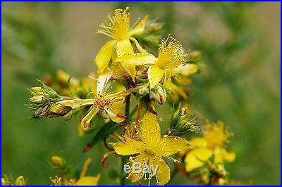 1,500 ST. JOHN'S WORT seeds Hypericum Perforatum Saint