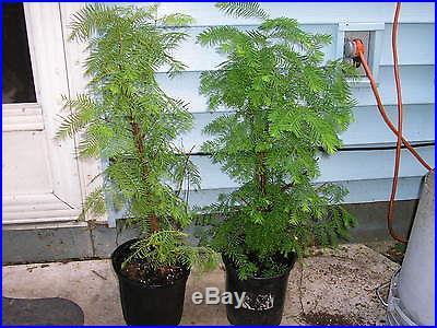 1 DAWN REDWOOD 2 FTBONSAI OR LANDSCAPEFAST GROWING TREE
