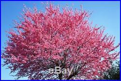20 Japanese Sakura Seeds, Bonsai Flower Pink Cloud Prunus Serrulata Cherry