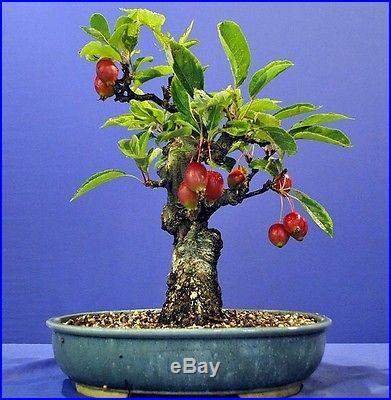 20 Seeds European Crab Apple Malus micromalus Midget crabapple sylvestris Bonsai