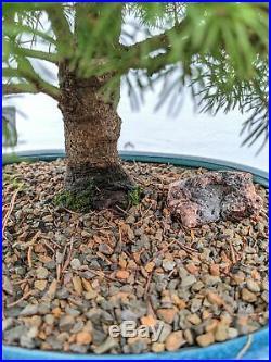 22 Year Old Dwarf Alberta Spruce Specimen Christmas Bonsai Tree