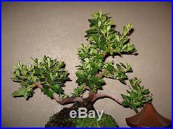 22 Year Old Japanese Satsuki Bonsai Specimen Plant