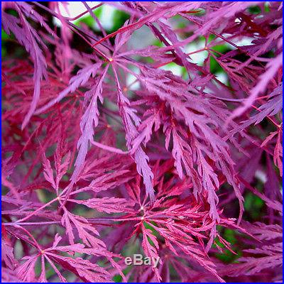 25 Seeds! Crimson Queen Japanese Maple Seed