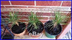 2 x Japanese Black Pine Pinus Thunbergii Seedling Pre-Bonsai / Landscape / Gift
