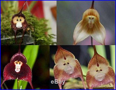 30 pieces New Arrival Type Orchid Seeds Saplings Fleshier Plant Flower Bonsai