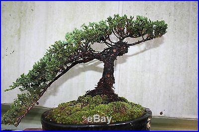 30 year old Bonsai Tree