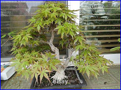 35 year Old Japanese Maple Bonsai
