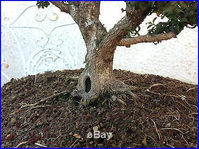 36 Year Old Kingsville Boxwood Bonsai Specimen