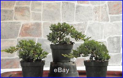 3 large Japanese Dwarf Juniper Pre Bonsai Tree