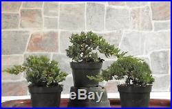 3 large Japanese Dwarf Juniper Pre Bonsai Tree Live trees