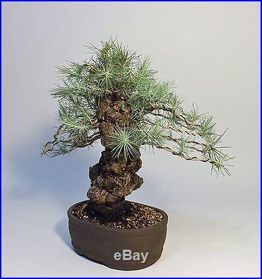 3 needle nishiki sumo cork pine. Also have Itoigawa shimpaku&Japanese black pine