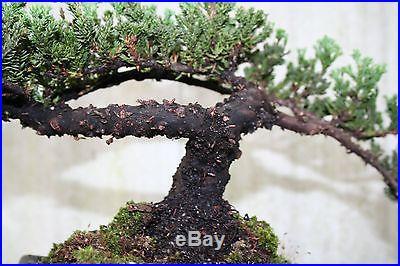 40 year old Bonsai Tree