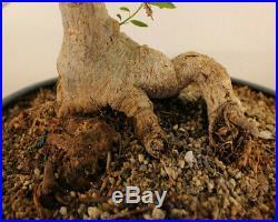 40 year old Ficus burtt davyi informal upright Bonsai