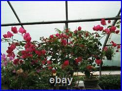 59 Year Old Bougainvillea Specimen Bonsai Tree