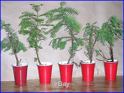 5 DAWN REDWOOD10INCHBONSAI OR LANDSCAPELIVE PLANTS SEEDLINGS