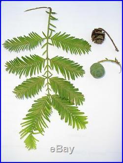 5 Tree Redwood Forest Bonsai Tree