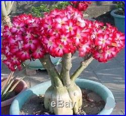 6 Pcs Multi-color Adenium obesum Desert Rose Seeds Flower garden supplies bonsas