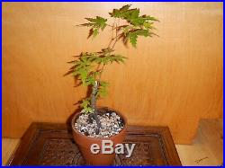 6 Year Japanese Maple Acer Palmatum Aureum 3/8 Inch Trunk Bonsai Tree Nebari