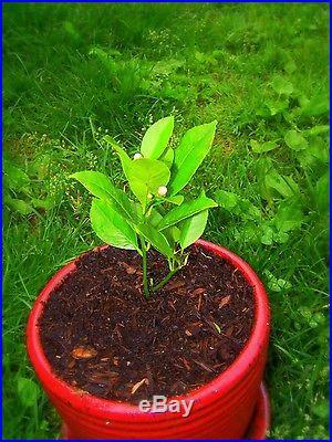 7 Edible Fruit Lemon Seeds, Bonsai Citrus Lemon Tree, Lemon Fresh Exotic Seeds