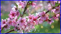 7 Japanese Flowering Cherry Blossom Bonsai Seeds, Exotic Rare Sakura Bonsai Seeds