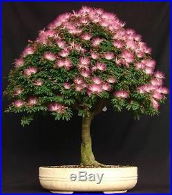 7 Mimosa (Albizia Julibrissin) Seeds, Exotic Bonsai Seeds, Rare Bonsai Seeds