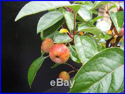 7 Mini Apple Fruit Bonsai Seeds, Mini Apple Tree, Apple Bonsai Fresh Seeds