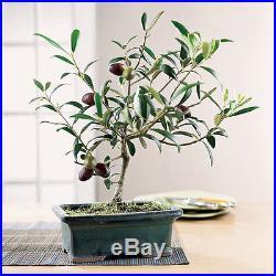 7 Olive Bonsai Tree (Olea Europaea) Seeds, Mini Olive Tree, Olive Bonsai Seeds