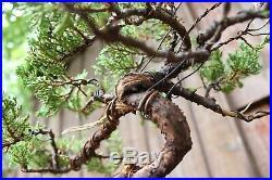 #8 Shimpaku Juniper Bonsai / Procumbens Juniper Bonsai Read Description